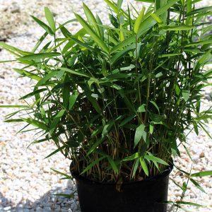 bambusa nana vo saksija