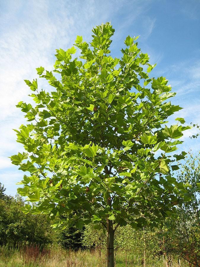 platanus listopadno drvo zeleni listovi