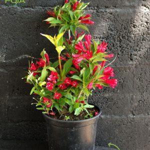 Цветна грмушка во саксија, Weigela florida 'Red Prince'