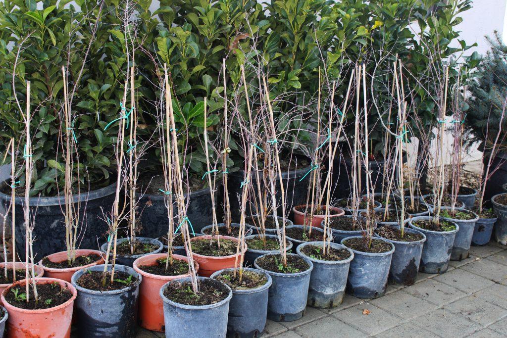 Listopadni drvja acer palmatum