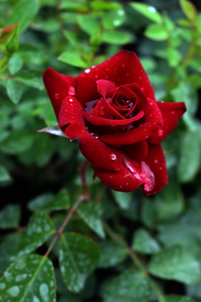 cvetna grmuska ruza