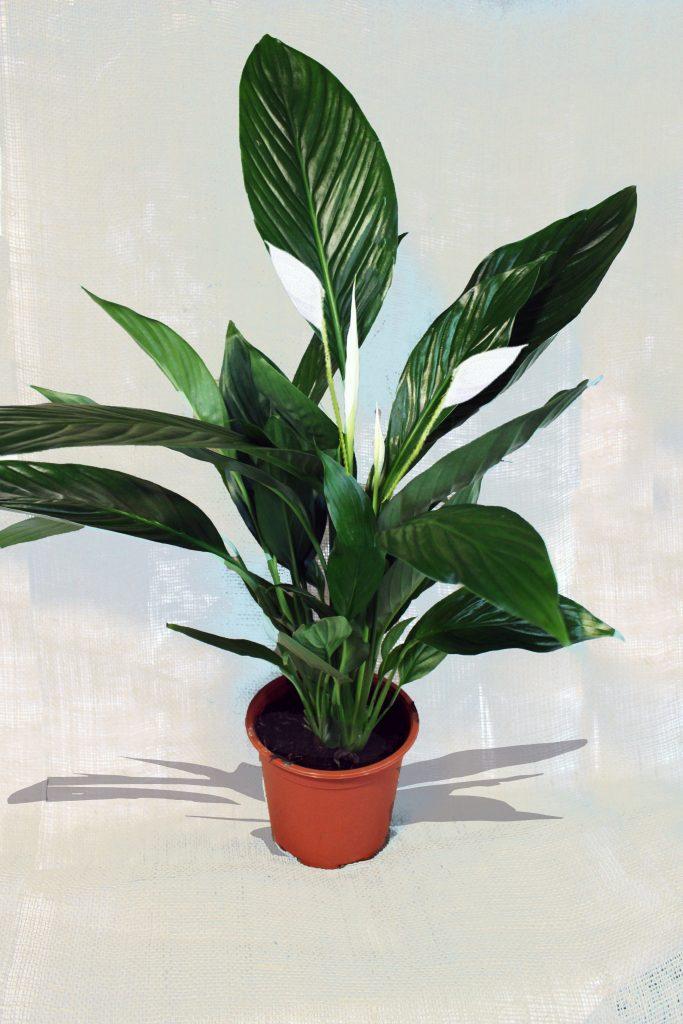 Sobno rastenie Spathiphyllum