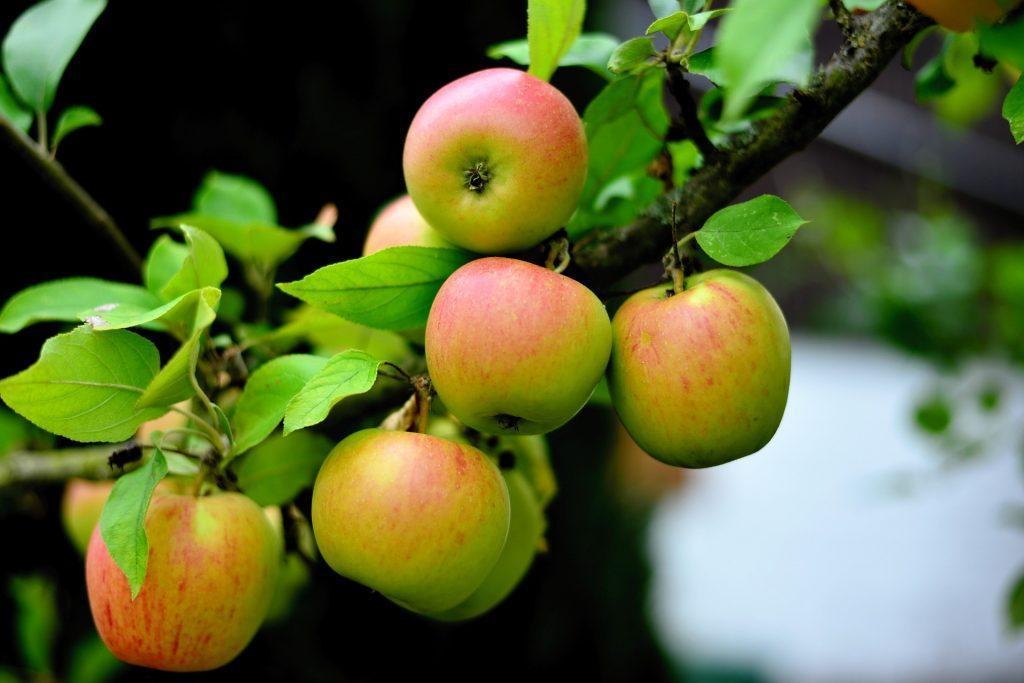 Sadnica ovoska, jabolki