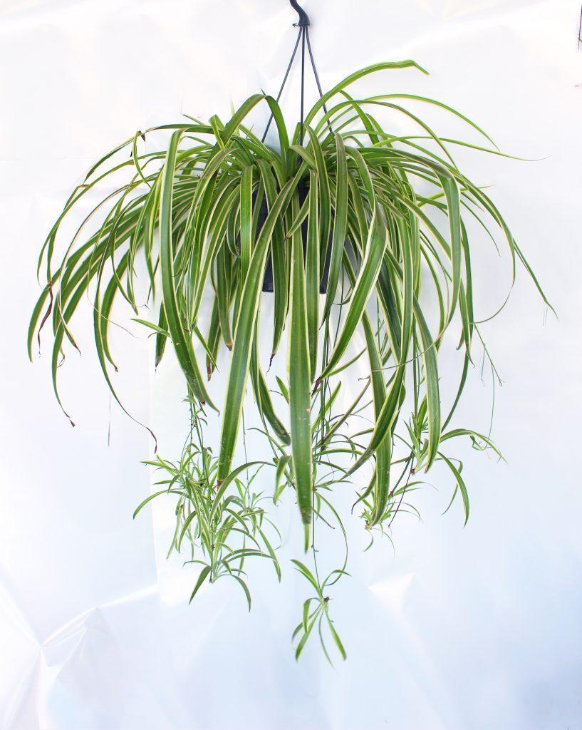 Visechko rastenie Chlorophytum