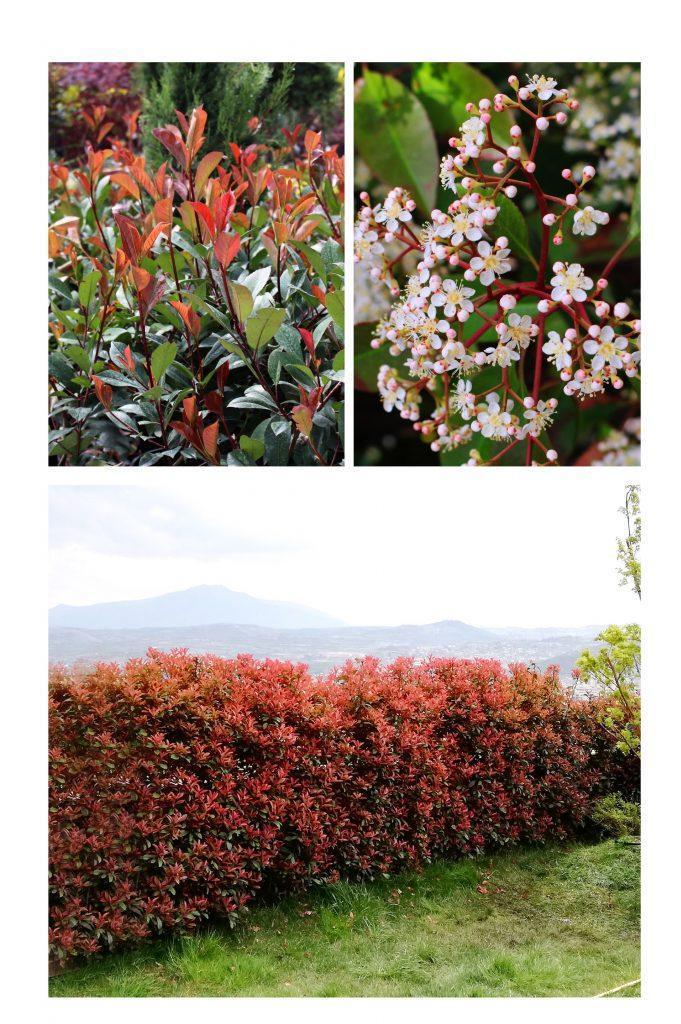 Photinia red robin,зимзелена садница,  со црвени листови за ограда