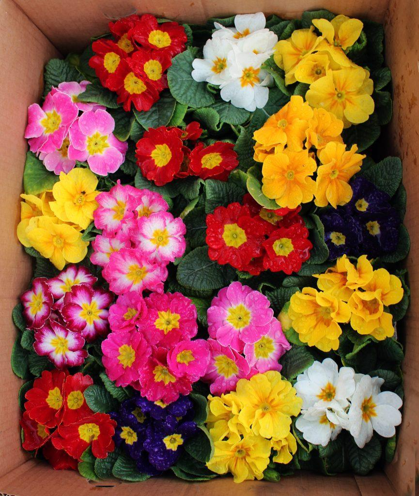 proletna cvetnica primula jaglika