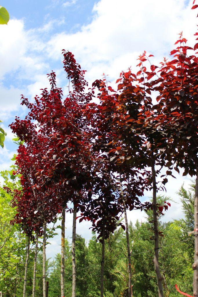 crvena sliva listopadna sadnica