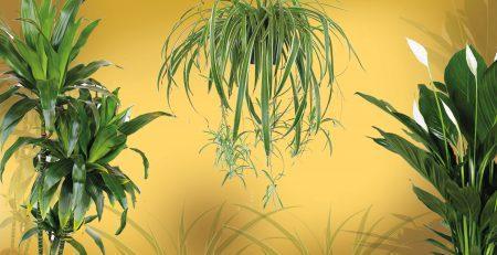 Sobni rastenija, dracaena , chlorophytum, spathiphyllum