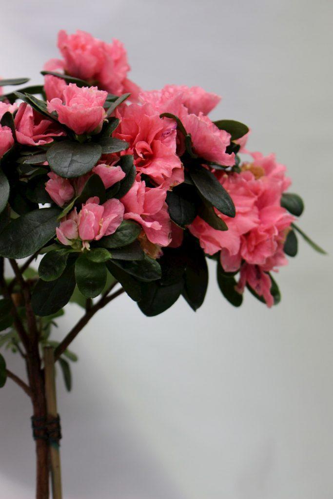 Cvetna grmuska azalea vo cvet