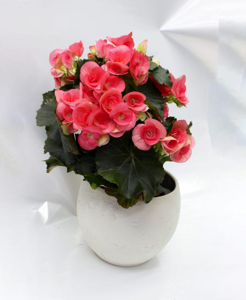 Begonia brakos -cvetnica vo rozev cvet