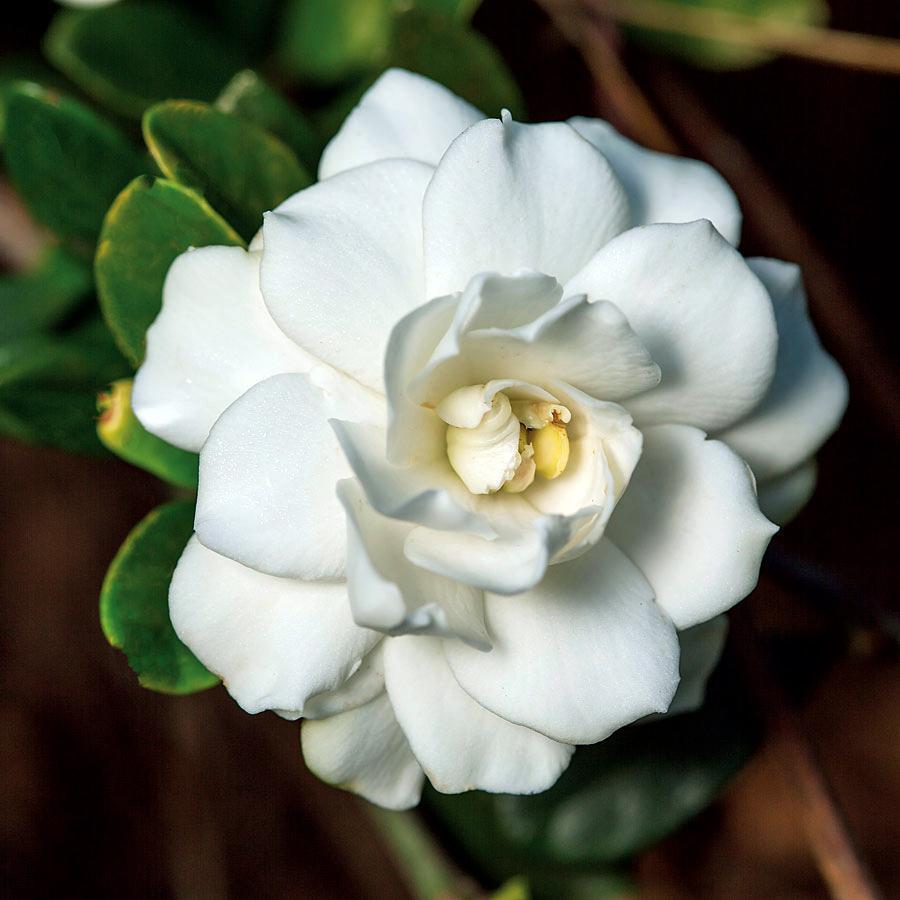 Gardenia cvetnica vo bela boja