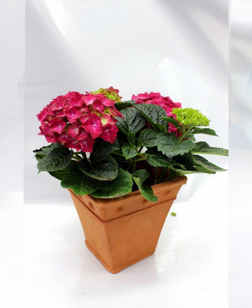 Hydrangea-Hortenzija so rozev cvet