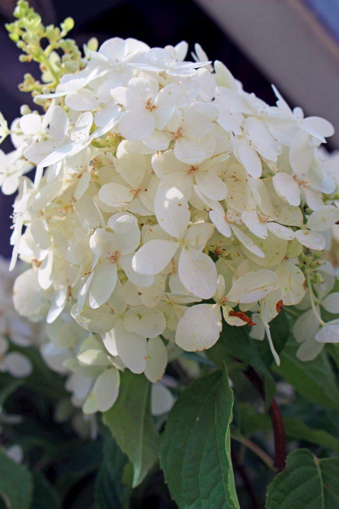 Hydrangea-hortenzija cvetna grmuska vo bela boja