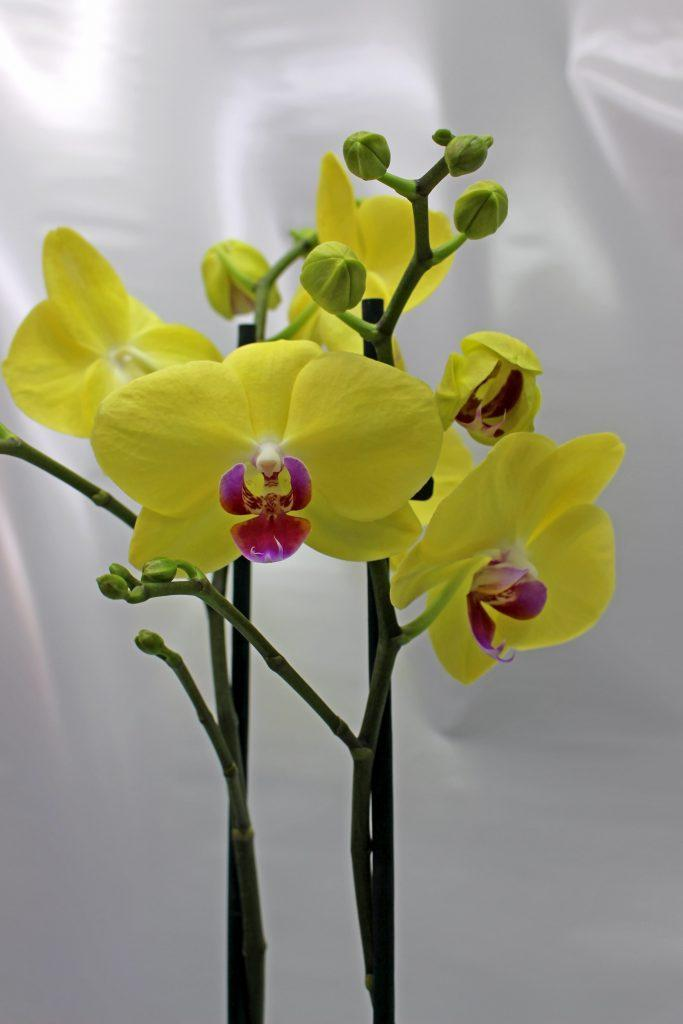 Phalenopsis- Orhidea