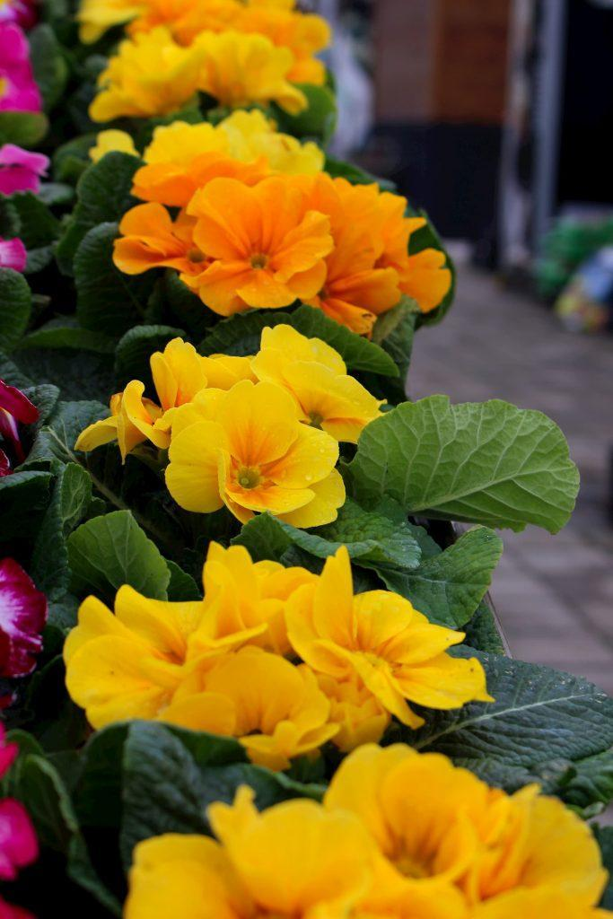 Primula-Jaglika vo cvet