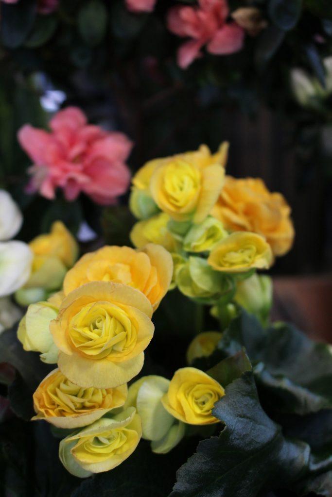 Begonia barkos cvetnica