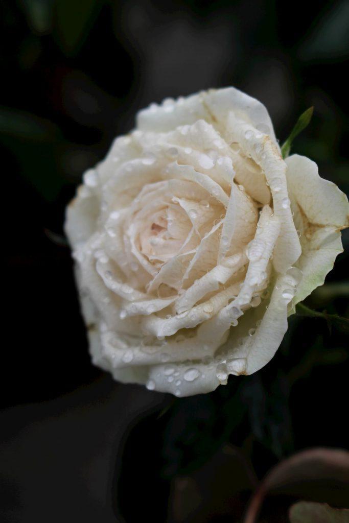 Rosa -Ruza cvetna grmuska so bela boja