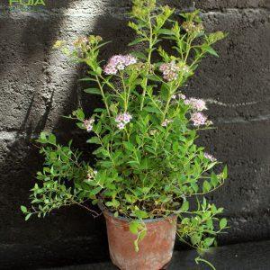 Spiraea japonica, cvetna grmuska vo saksija